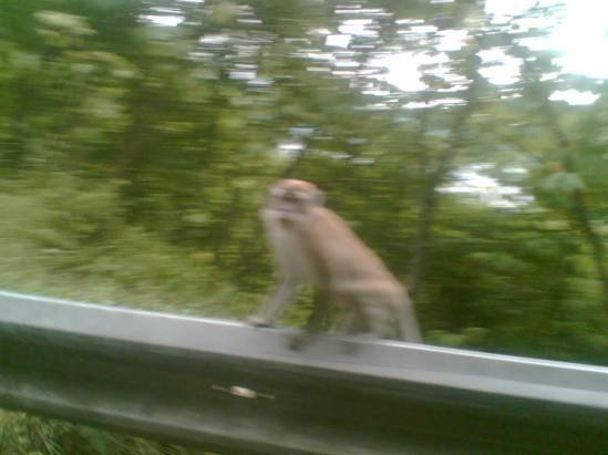 Seekor monyet yang diambil gambarnya dengan kamera Ponsel diatas mobil yang sedang berjalan.